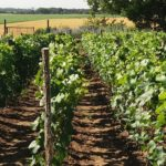vigne recadrée