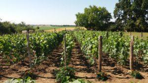 juin 2020 vigne après